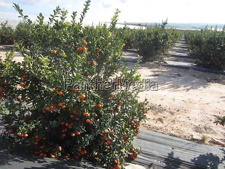 orange orchard grove
