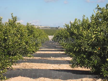 orange, orchard, grove - 26353663