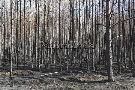 alemania brandeburgo treuenbrietzen bosque tras incendio