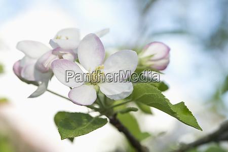 apple tree apple blossoms