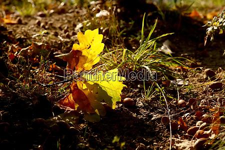 germany oak leaves in autumn