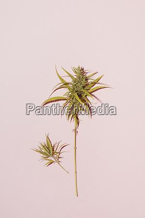 cannabis leaf on pink background copy
