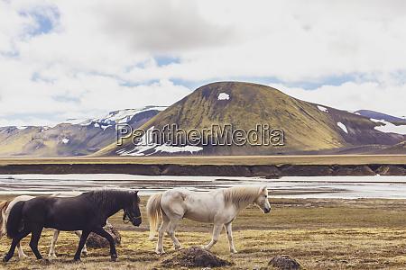 iceland highlands of iceland landmannalaugar icelandic