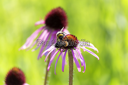 botanic garden honeybees on purple coneflower