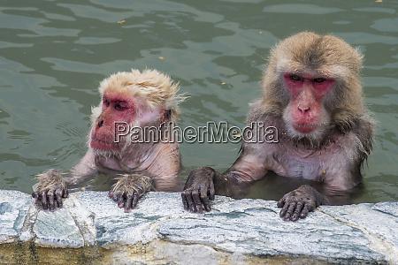 hokkaido hakodate red faced makak in