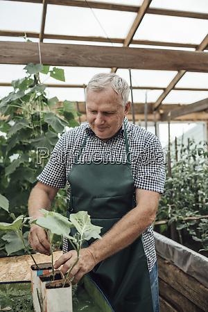 mature man gardener in greenhouse looking