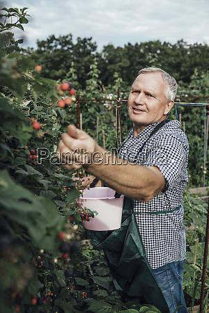gardener harvesting berries in garden