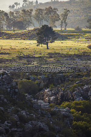 south africa western cape tree on