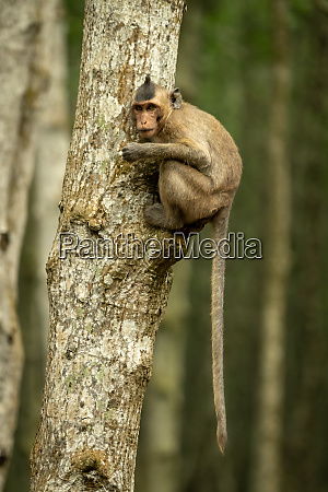 long tailed macaque on tree with