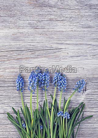 blue muscari flowers grape hyacinth
