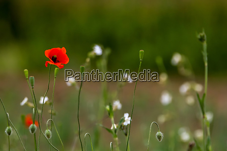 blooming red poppy flowers on summer