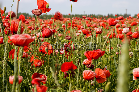 landscape of red poppy flowers on