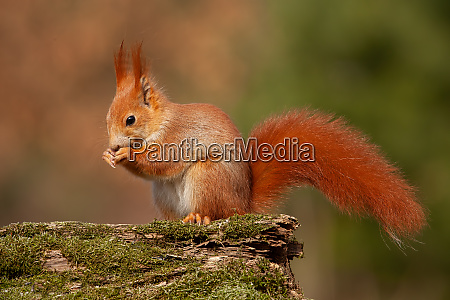 eurasian red squirrel sciurus vulgaris in
