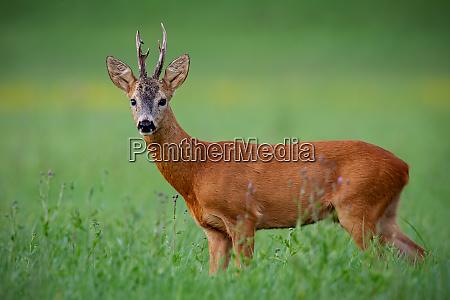 roe deer buck on green meadow
