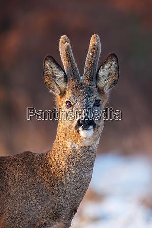 portrait of roe deer capreolus capreolus