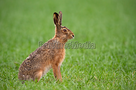 european brown hare lepus europaeus in