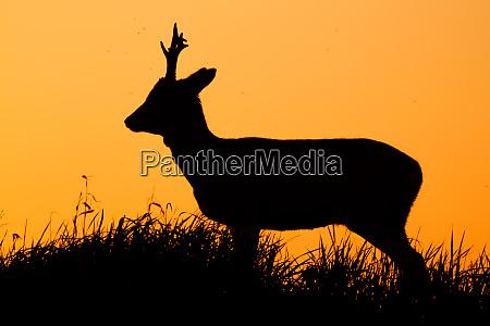roe deer capreolus capreolus male buck