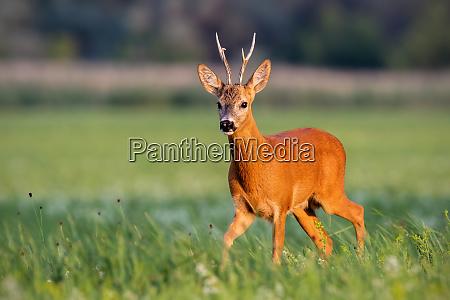 roe deer buck walking on blooming