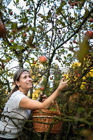 middle aged woman picking apples in