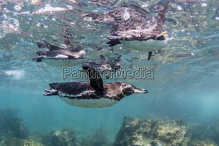 galapagos penguins spheniscus mendiculus swimming underwater