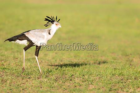 secretary bird masai mara kenya east
