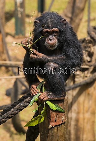 chimpanzee orphan in the tacugama chimpanzee