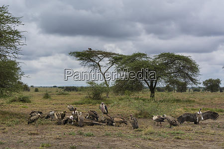white backed vultures gyps africanus and