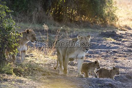lions panthera leo khwai conservation area