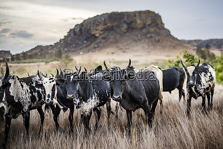 zebu herd isalo national park ihorombe