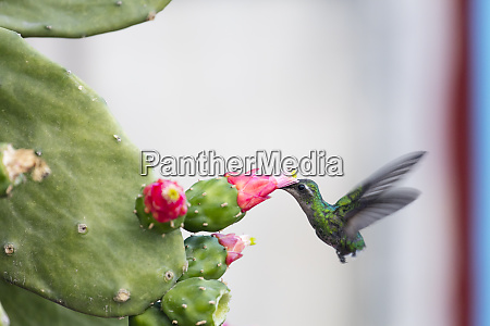 humming bird drinking from a cactus