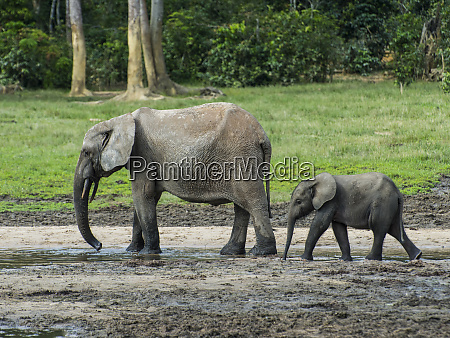 african forest elephant loxodonta cyclotis with