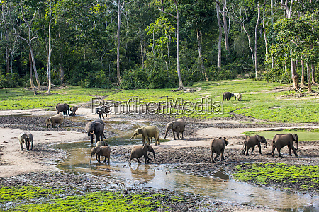 african forest elephants loxodonta cyclotis at