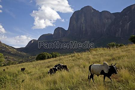 zebu cattle tsaranoro massif southern madagascar
