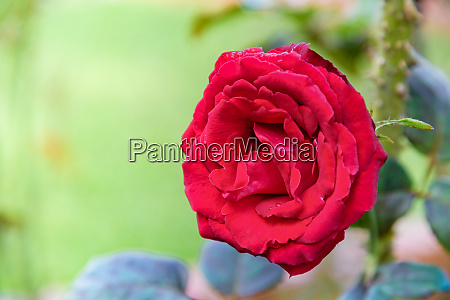 red rose blooming on the branch