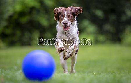 young springer spaniel having fun chasing