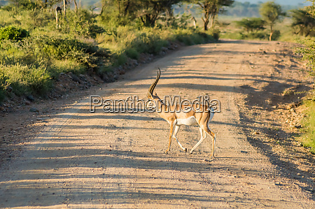 male impala crossing the trail in