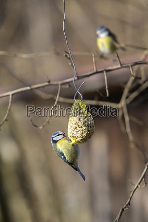 bluetit bird on a chuck piston