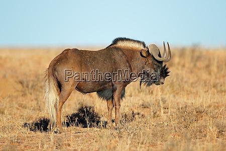 black wildebeest in grassland