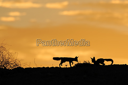 cape foxes silhouetted at sunrise
