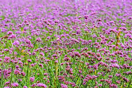 verbena bonariensis flower field