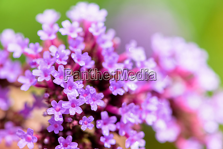 close up verbena bonariensis flower