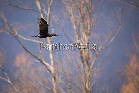 double crested cormorantphalacrocorax auritus in flight