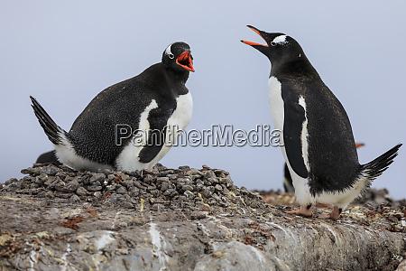 gentoo penguin pygoscelis papua pair communicating