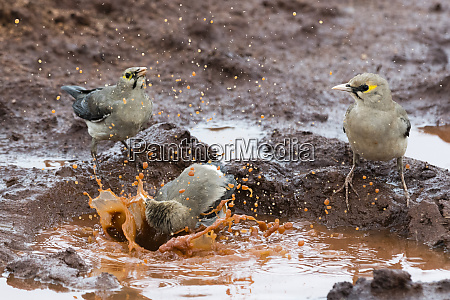 wattled starlings creatophora cinerea in a