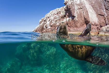 california sea lion zalophus californianus half