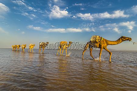camels loaded with pans of salt