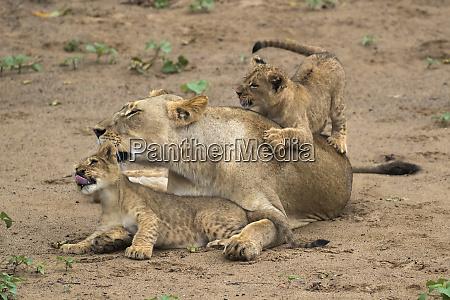 lioness panthera leo with cubs zimanga