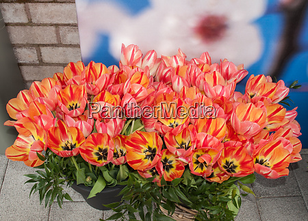 colorful tulips flowers blooming in plastic