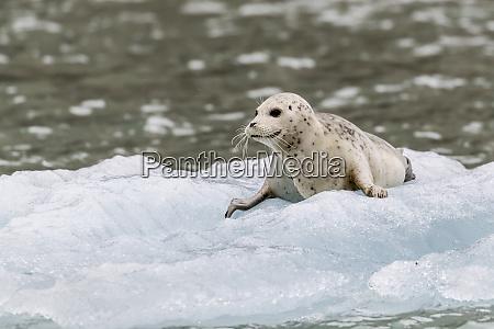 harbor seal phoca vitulina pup on