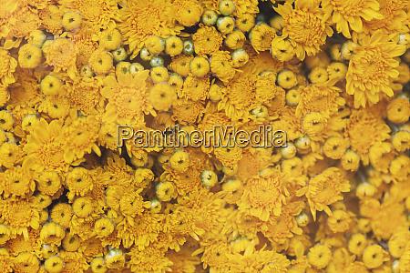 vietnam yellow flowers at stand